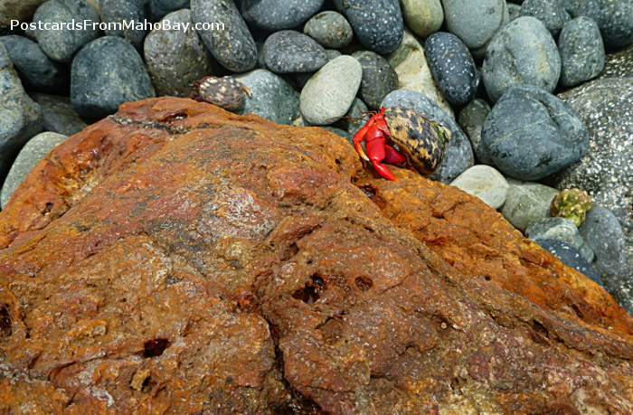 Beautiful red St. John hermit crab climbing up a rock in the beach after the mass migration to the water on August 22, 2013.