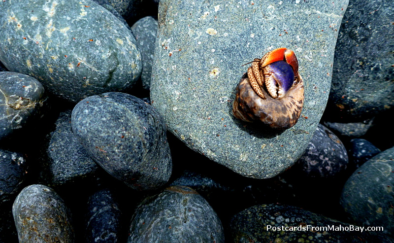 A lone hermit crab, red and purple, hiding from my camera.