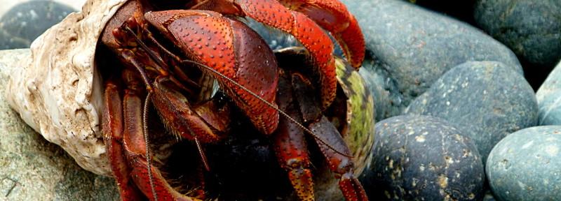 St. John's Hermit Crab Migration