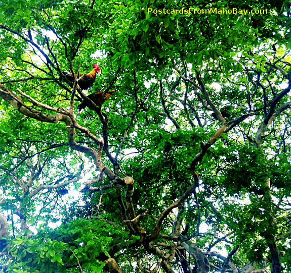 Looked up one day and saw the Cruz Bay roosters high up in the trees near the park!