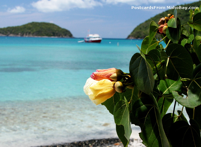 Big Maho Bay gets it's name from the Maho tree that lines the beach and blooms in the summer months.
