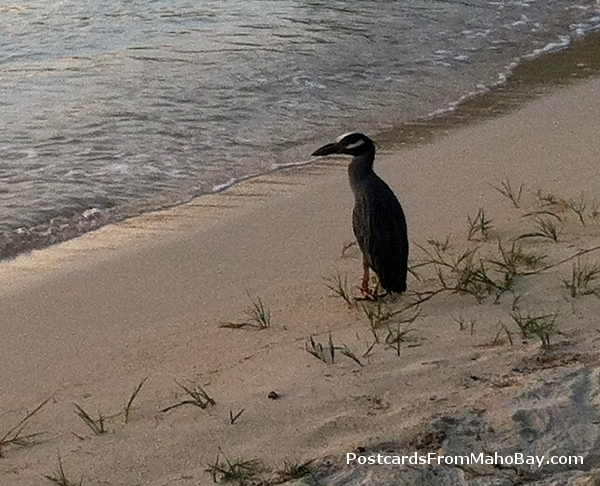 I spotted this island bird on the beach near the ferry dock in Cruz Bay watching the sunset!