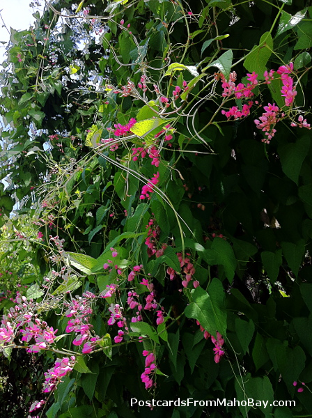 Delicate pink coral vine blooming along the dirt road up to Maho Bay Camps.