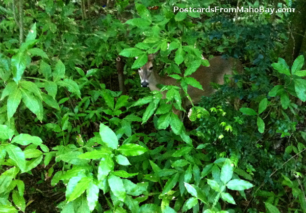 This deer was watching me from the bush in the Maho Bay staff section as I walked to work.