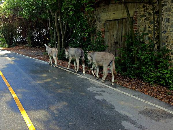 Island donkeys walking along the road at Big Maho Bay while out on one of my morning walks.