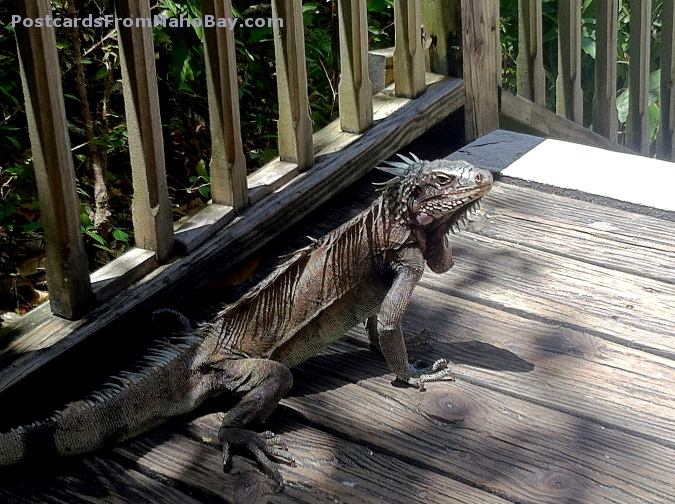 As I was walking down the steps from the Dining Pavilion at Maho Bay Camp, this iguana scurried out from under a step! Stopped me dead in my tracks!