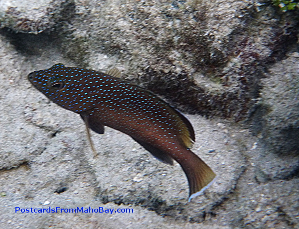 I saw a lot of blue-spotted fish that day at Waterlemon Cay and cannot recall what fish this is!