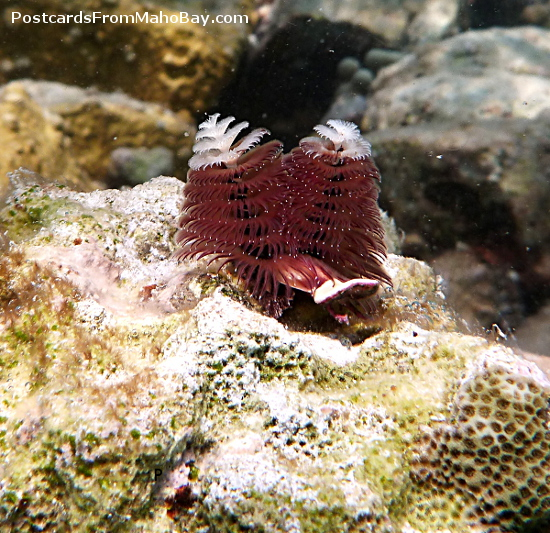 Love the color on these Christmas Tree Worms seen at Cinnamon Bay, St. John.