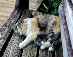 Althea, Maho's beloved calico cat, sleeping in one of her favorite places along Maho's boardwalks. Please donate to the fund established in her memory.
