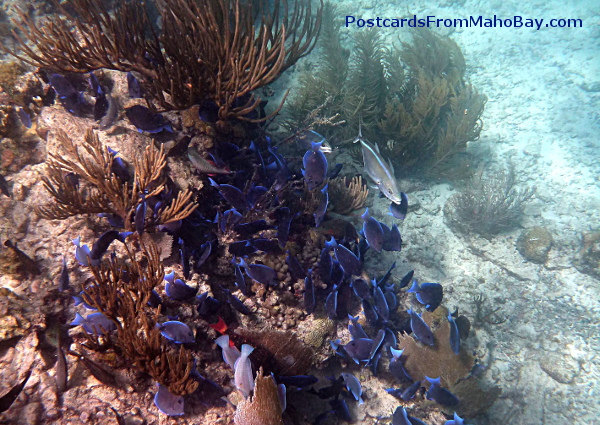 School of Blue Tang, along with Bar Jack and Surgeon Fish, eating on the coral reef at Cinnamon Bay, St. John.
