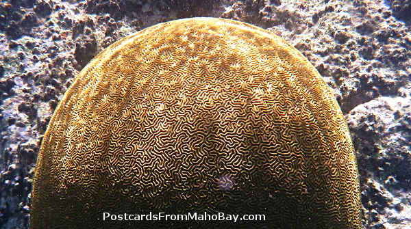 Large and healthy Brain Coral seen while snorkeling around Cinnamon Bay Cay this summer.