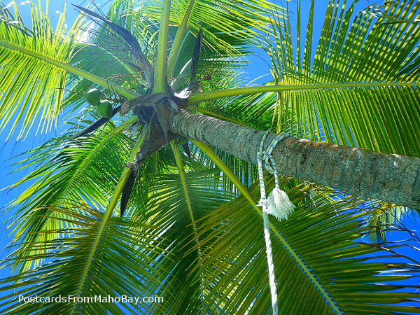 Looking up from the tire swing at the coconut palm tree at Oppenheimer Beach.