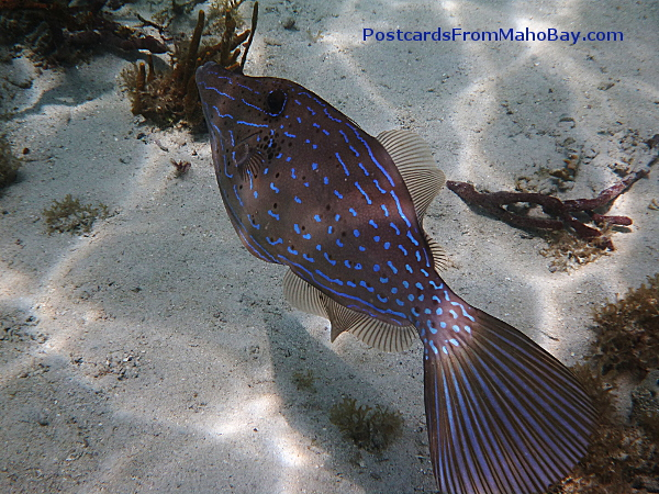 I have been seeing more of the Scrawled Filefish around the reefs in St. John. They are distinguished by their beautiful blue marking and the fact that they will change color much like squid or octopus. Amazingly they feed on fire coral!