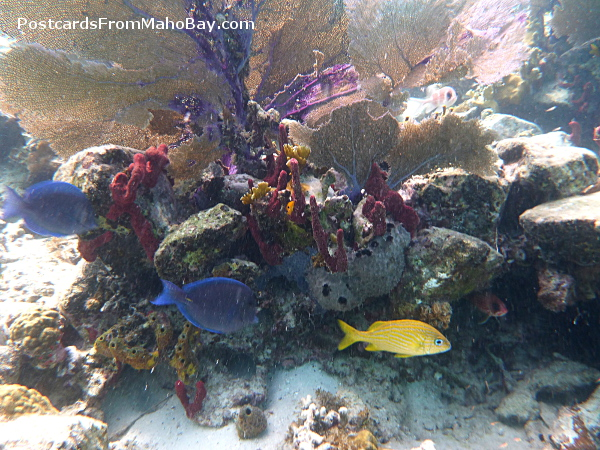 Blue tang, Grunt and Squirrel Fish gliding in the coral reef at Cinnamon Bay, St. John.