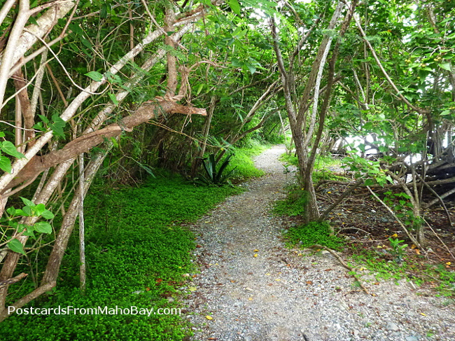 This is the path we took to hike past Leinster Bay out to Waterlemon Cay. This is as green as I have ever seen it!